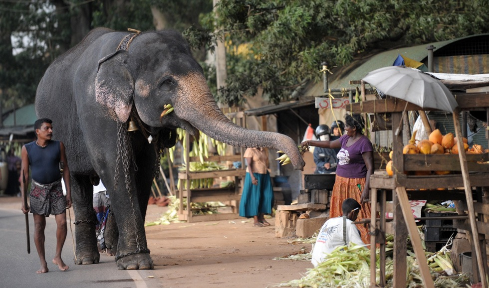 Sri Lankan vendors feed corn husks to elephants walking along a street in the capital Colombo on October 16, 2011. AFP PHOTO/Ishara S.KODIKARA (Photo credit should read Ishara S.KODIKARA/AFP/Getty Images)
