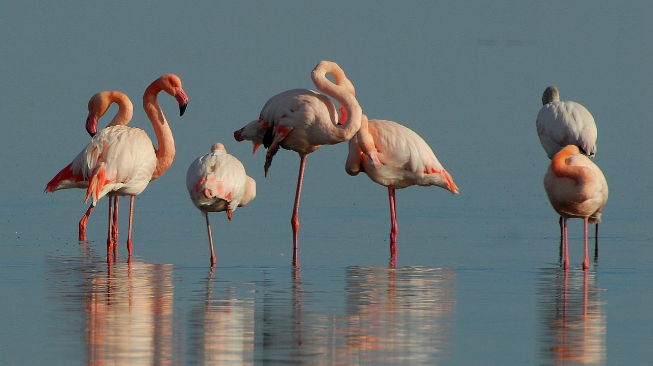 flamingos-1205366_1280